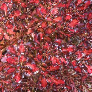 Coprosma Repens Pacific Sunset multicolore en pot de 4 L 309871