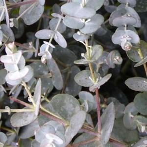 Eucalyptus Gunni Silverana bleu en pot de 4 L 309973