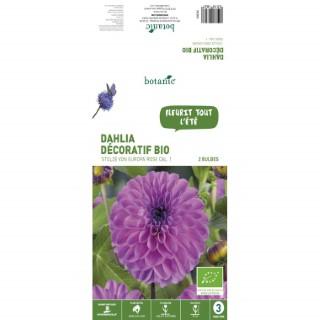 2 bulbes de Dahlia Pompon Stolze Von Europa BIO – Rose 310182