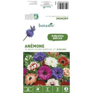 25 Bulbes d'Anémone St Brigid - Variées 310250