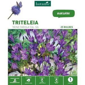 Triteleia Brodiaea Reine Fabiola - Bleu - 25 bulbes 310293