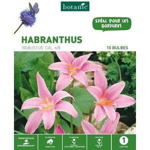 Habranthus Zephyranthes Robustus - Rose Blanc - 15 bulbes 310295
