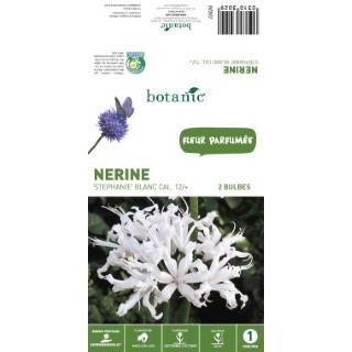 Nerine Stephanie - Blanc - 2 bulbes 310302