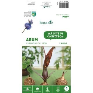 Arum Cornutum - Marron - 1 bulbe 310318