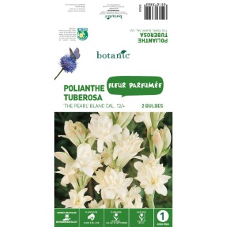 Polianthe Tuberosa The Pearl - Blanc- 2 bulbes 310330