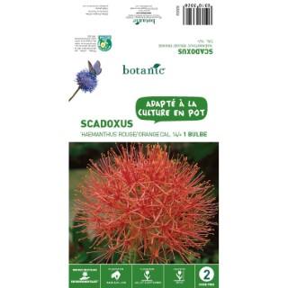Scadoxus Haemanthus - Rouge/Orange - 1 bulbe 310332