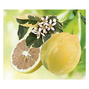 Citronnier 4 Saisons Albo Panache bio. Le pot de 3 litres 310399