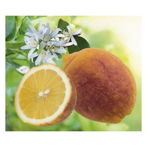 Citronnier Rouge en pot de 3 L Bio 310405