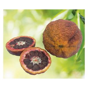 Clementinier Sanguine bio. Le pot de 3 litres 310406