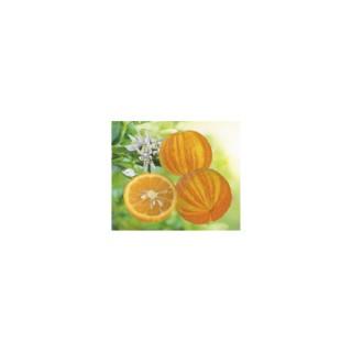 Oranger du Vatican en pot de 3 L Bio 310411