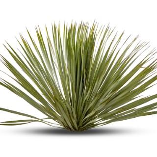 Yucca Rostrata 100/120 cm Stipe 40/45 en pot de 25 L 310463