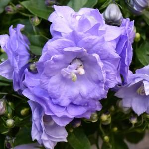 Campanula Blue Wonder. Le pot de 10.5 cm 311767