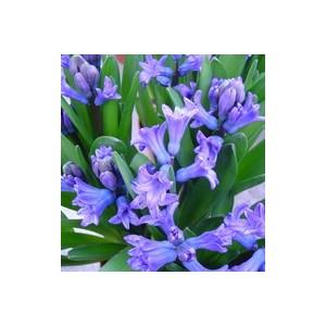 Jacinthe Multiflore. Le pot de 1 litre 312051