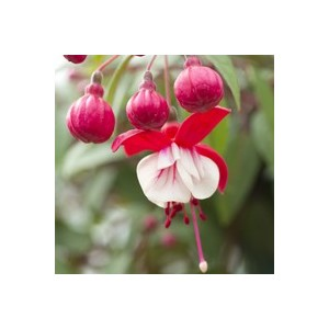 Fuchsia érigé. La coupe de 25 cm 128634