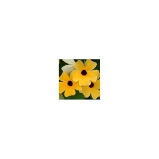 Suzanne aux yeux noirs multicolore en pot de 1 L Ø 13-15 873381