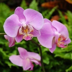 Orchidée Phalaenopsis.D.24 315002