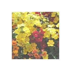 Sunsatias Arlequin. La jardinière de 40 cm 227867