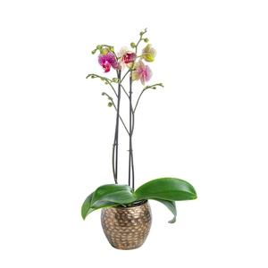 Phalaenopsis 50 cm avec cache pot céramique Ø 12 cm 317673