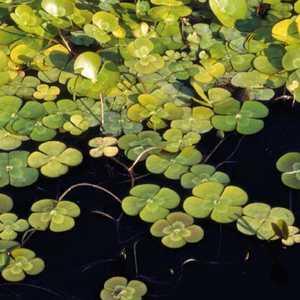 Marsilée à quatre feuilles godet 9x9 cm 317806