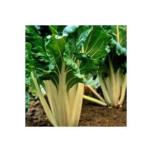 Poirée Verte À Cardes Blanches. La barquette de 6 plants 423164