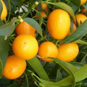 Kumquat 40/60 en pot couleur de 5 L 320385