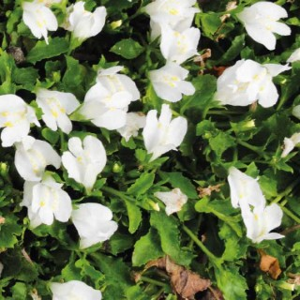 Mazus rampant blanc godet 9x9 cm 320592