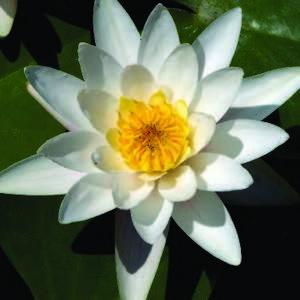 Nénuphar 'Pygmaea Alba', variété naine 320609