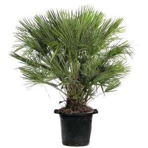 Chamaerops Humilis vert en pot de 35 L 320676