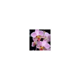 Phalaenopsis Formidablo botanic® - Pot de 12 cm 819737