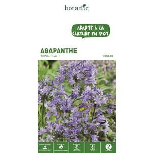Bulbe Agapanthe Donau bleu calibre 1 321871