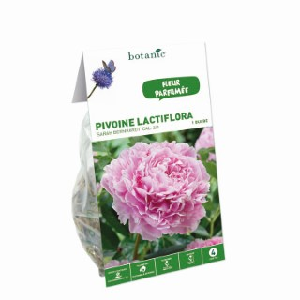 Bulbe de Pivoine Sarah Bernhardt rose calibre 2/3 321926
