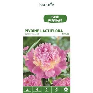 Bulbe de Pivoine Sorbet rose/blanc calibre 2/3 321928