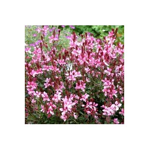Gaura Rose. Le pot de 1 litre 48386