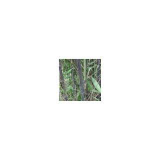 Bambou Phyllostachys Nigra 18L 322180