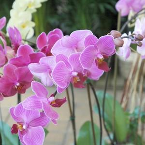 Orchidée Phalaenopsis multiflora 2 br. Pot 12 cm 326932