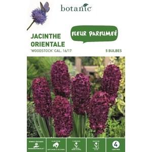 Bulbe jacinthe orientale Woodstock violet botanic® x 5 334585
