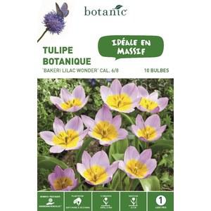 Tulipe bakeri lilac wonder rose et jaune botanic® - 10 bulbes 334631