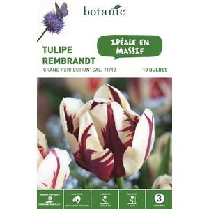 Tulipe rembrandt Grande Perfection blanc et rouge botanic® - 10 bulbes 334673