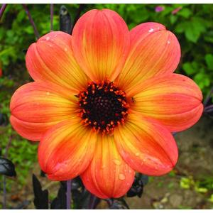 Dahlia mystic ladies  haze. Le pot de 4 litres 334775