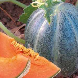 Melon Petit Gris De Rennes. Le pot de 10,5 cm 334950