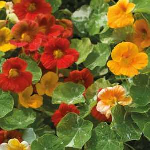 Fleur du potager capucine indicateur pucerons bio. Le pot de 10.5 cm 334952