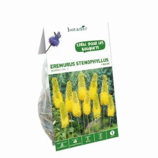 Bulbe eremurus Bungei jaune botanic® 334994