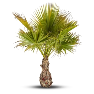 Washingtonia Robusta ou Palmier du Mexique 80/100 cm en pot de 90 L 335076