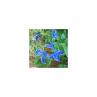 Sauge mystic bleue. Le pot de 5 litres 335221