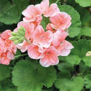 Géranium zonale rose Le pot de 12 x 12 cm 335252