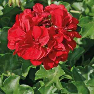 Géranium lierre double rouge Le pot de 12 x 12 cm 335374