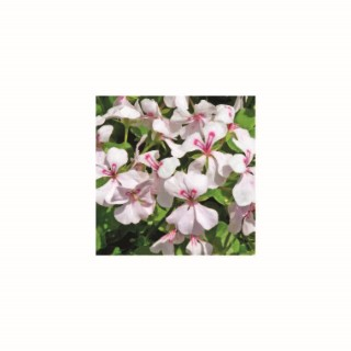 Géranium lierre à grandes fleurs blanc. Le pot de 12 x 12 cm 335392