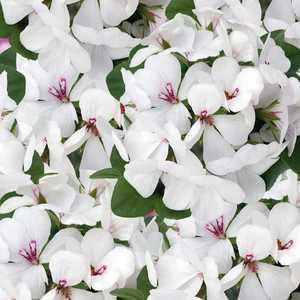 Géranium lierre simple blanc. Le pot de 12 x 12 cm 335414