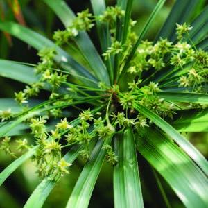 Papyrus à feuilles alternées 7,5 litres monovariété 335473
