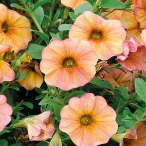 Pétunia retombant Jaune Cuivre botanic® - Pot 9x9 336201